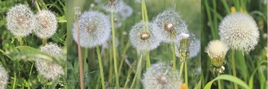 Fields of dandelions.