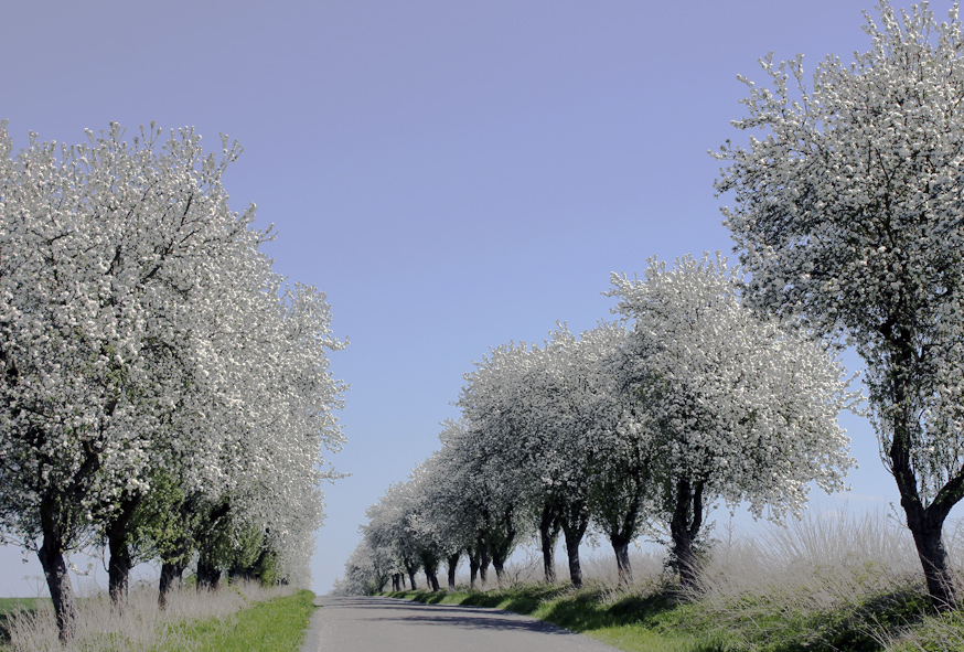 Spring blossoms in the Czech countryside.