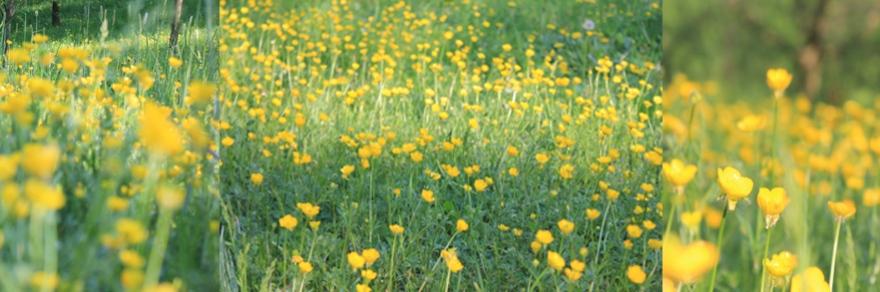 Fields of yellow summer flowers.